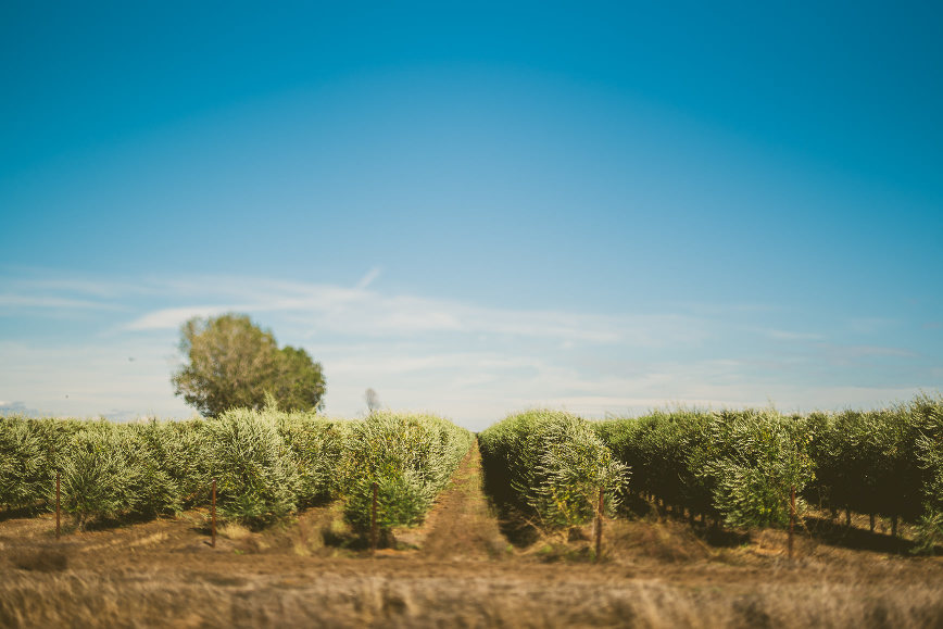 California Olive Oil Harvest Sacramento | bettysliu.com