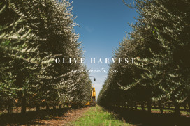 California Olive Oil Harvest | bettysliu.com